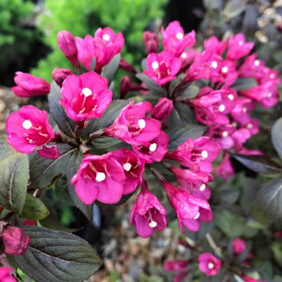Vajgela kvetnatá 'Minor Black ' - Weigela florid...