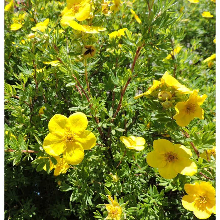 Nátržník - Potentilla fruticosa 'Goldfinger' Co1L
