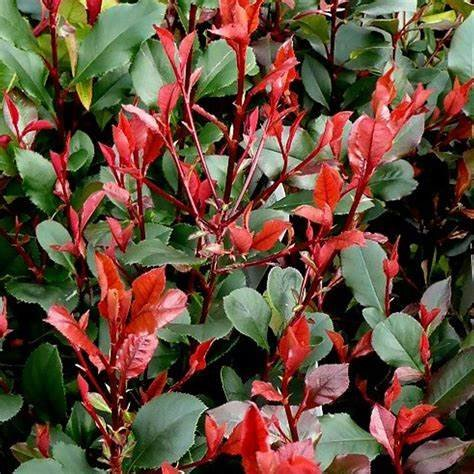 Červienka, Fotínia - Photinia fraseri ´Little Red Robin´  Co9L  100/125