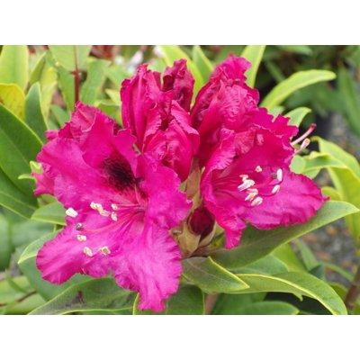 Rododendrón - Rhododendron  'Madame Fortier'  Ve...