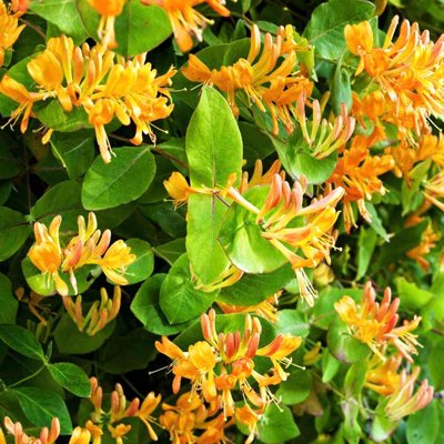 Zemolez henryho - Lonicera Henryi Copper Beauty