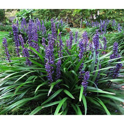 Liriope muscari 'Big Blue' Co14 15/20