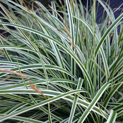 Ostrica ošimenská - Carex Oshimensis Everest Co1...
