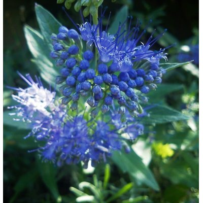 Caryopteris x clandonensis 'Inoveris' GRAND BLEU...