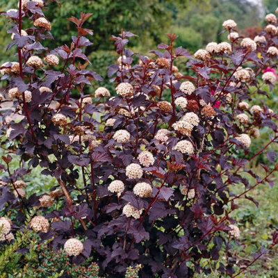 Physocarpus opulifolius 'All Black'