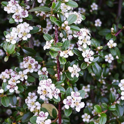 Cotoneaster procumbens ''Queen of Carpets'' Co5L...