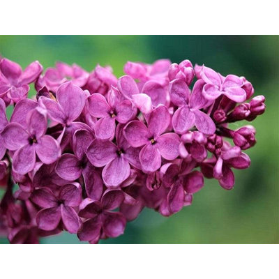 Syringa vulgaris 'Andenken an Ludwig Spath'  Co1...