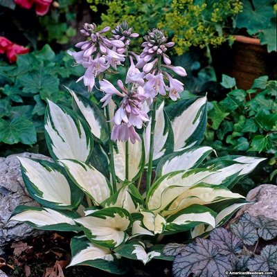 Funkia - Hosta ´Wide Brim´  Co1,5L  5/10
