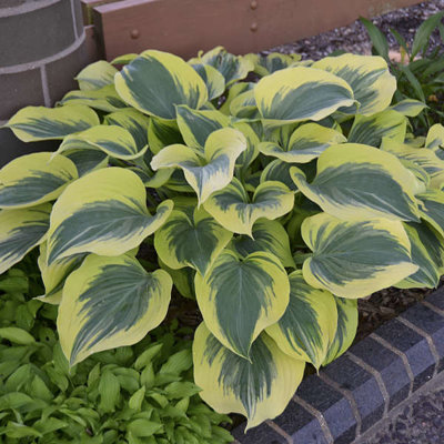 Funkia - Hosta ´American Halo´ Co1,5L  5/10