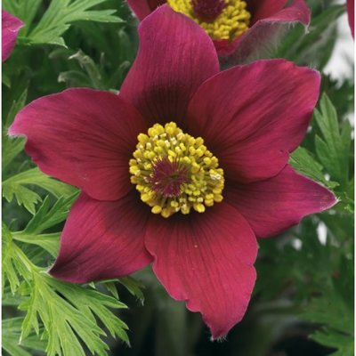 Pulsatilla vulgaris 'Pinwheel Dark Red Shades'