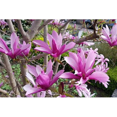 Magnolia 'Susan'  Co9L 125/150