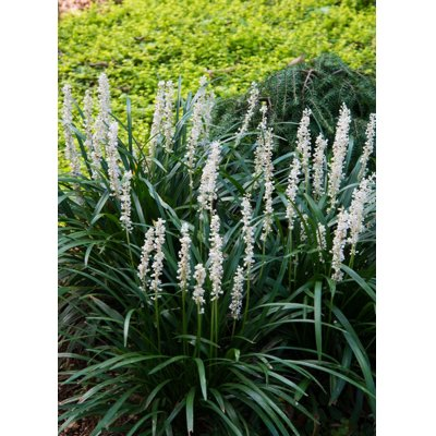 Liriope muscari Monroe White Co14 15-20