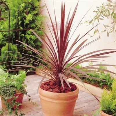 CORDYLINE AUSTRALIS ´RED STAR´   Co7-10L