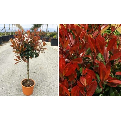 Červienka, Fotínia  - Photinia fraseri ´Nana´ Co...