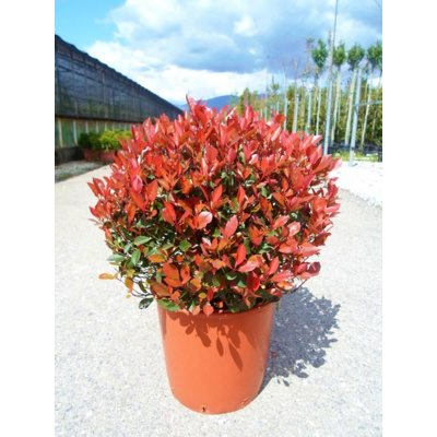 Červienka, Fotínia - Photinia fraseri ´Nana´ Co5...