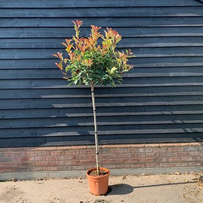Červienka, Fotínia - Photinia fraseri 'Magical Volcano' Co10L 1/2 kmeň
