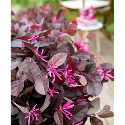 Loropetalum chinensis ´Fire Dance´ Co10L 1/2 kme...