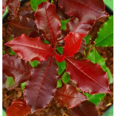 Červienka, Fotínia - Photinia fraseri 'Magical V...