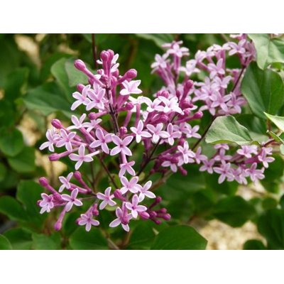 Syringa 'Red Pixie' Co3L 40/50