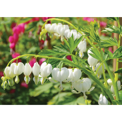 Srdcovka - Dicentra spectabilis