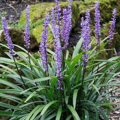 Liriope muscari Royal Purple P9