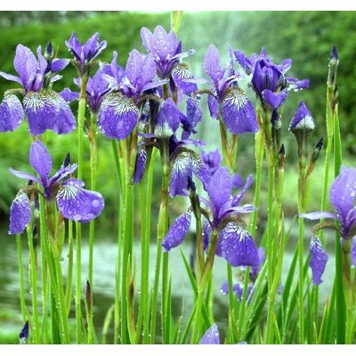 Iris sibirica ´Blue King´ Co9