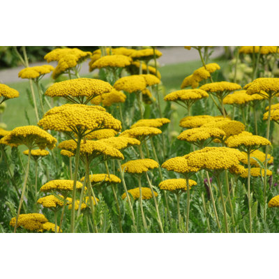 Rebríček - Achillea ´Coronation gold´ Co11