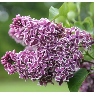 Syringa vulgaris  ´Sensation´  Co12L km1/2