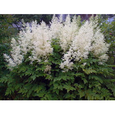 Astilba - Astilbe ´Diamond´ Co2L