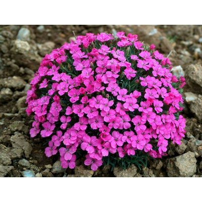 Dianthus microlepis Co9