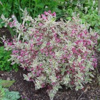 Vajgela kvetnatá  - Weigela florida ' Monet ' Co3L 30/40