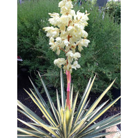 YUCCA FILAMENTOSA COLOR GUARD Co7-10L